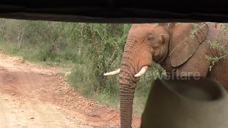 Elephant gets really close to safari jeep - Video