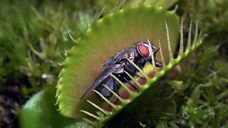 Flesh Eaters: Carnivorous Plants Lure Insects Into Their Deadly Clutches - Video