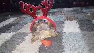 Festive Tortoise Rocks His New Christmas Attire - Video