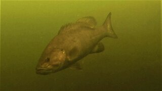Camera submerged 40 feet deep in lake captures large fish just drifting past