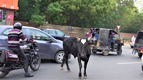 People try to help poor cows that wandered into rush hour traffic in Delhi, India