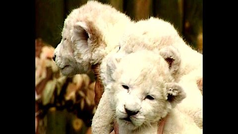 Cute White Lion Cubs