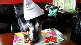12-year-old Great Dane celebrates birthday with special dinner