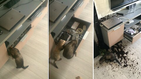 Best Ferret Cleaning Ever