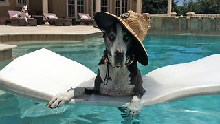 Max and Katie the Great Danes lounge by the pool