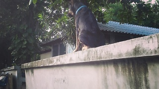 Drunk dog falls from a wall  - Video