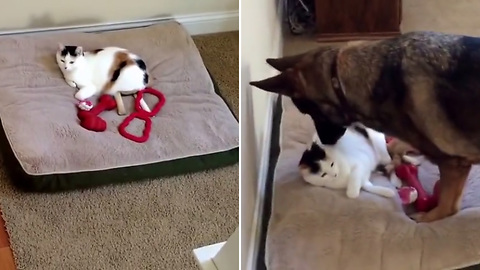 German Shepherd Finds The Cat Stole Her Bed Again, Does What Is Necessary