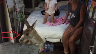 Friendly kangaroo hops in family's caravan, refuses to leave - Video