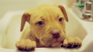 Pit Bull puppy receives her first bath at new home - Video