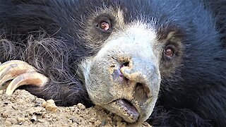 Rescued dancing sloth bear now enjoys the peaceful life at beautiful sanctuary
