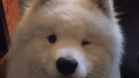 Super smooth Samoyed winks for the camera