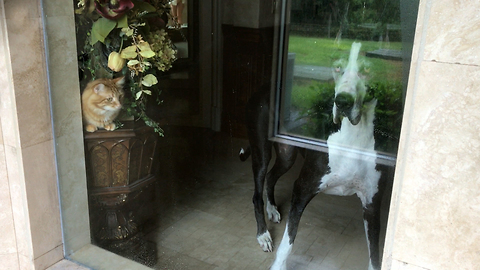 Great Dane and Cat Watch Cat Enjoy a Shower