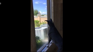 Funny Great Dane Squirrel Watches in the Shower  - Video