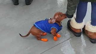 Dachshund puppy models adorable boots and vest - Video