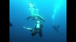 Hunting sea lions swim through astonished divers 50 feet deep