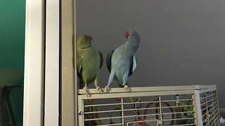 Parakeet brothers engage in full length conversation - Video