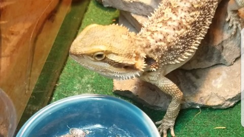 Cute bearded dragon devours live roaches and worms