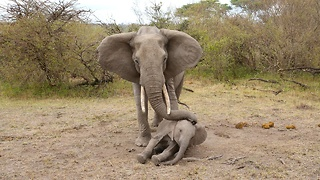 Mother Elephant Tries To Rouse Her Unconscious Calf - Video