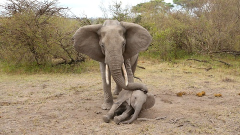 Mother Elephant Tries To Rouse Her Unconscious Calf