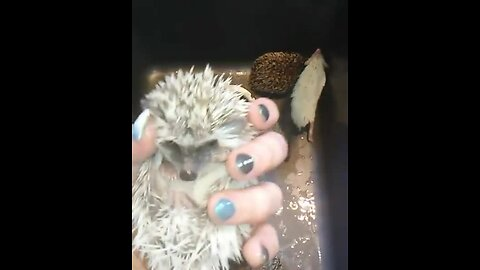 Baby Hedgehogs Take Adorable Bath Together