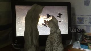 Kittens try to catch birds through computer screen - Video
