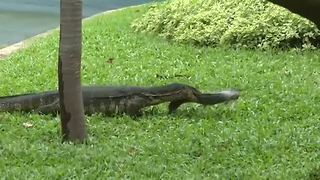 Lizard relocation project underway in Bangkok - Video