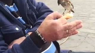 Guy hand-feeds wild sparrows at park - Video