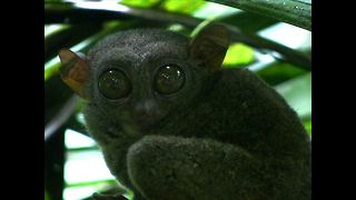 Cute Philippine Tarsiers Under Threat - Video