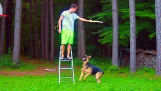 How high can a German Shepherd jump?! - Video