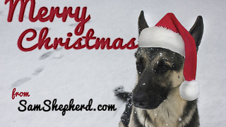 German Shepherd goes wild on Christmas toy