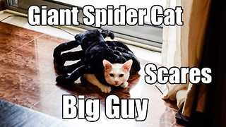 Giant spider cat scares big guy - Video