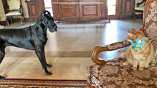 Great Dane Shows Off Her Fancy Footwork To The Cat