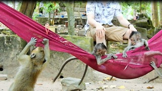 Baby Monkey Love Play Tourist Watching - Video