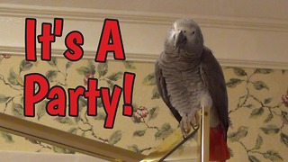 African Grey Parrot knows how to party - Video