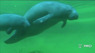 """Non-profit says Florida may be in a """"manatee extinction crisis"""""""