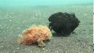 Two Hairy Frogfish Take a Walk - Video