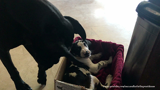 Great Dane and 9 Week Old Puppy Love Playing Together  - Video