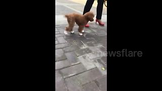 Chinese dog owner makes poodle walk in child's shoes - Video