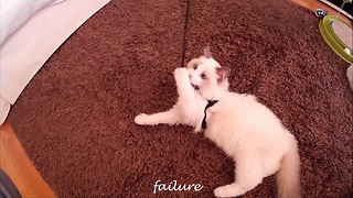 Kitten tries walking with leash, fails adorably