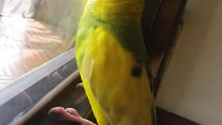 Colorful Parrot Proudly Demonstrates Talking Skills - Video