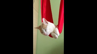 Cat lounges on aerial hammock, lives the good life - Video