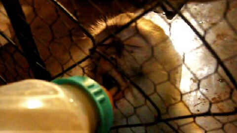 Rescued Vervet Monkeys love getting bottle-fed