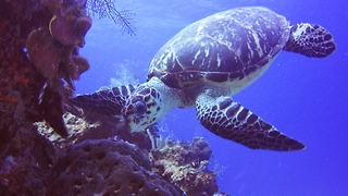 Critically endangered turtle's unusual meal makes it toxic to eat - Video