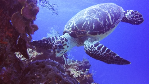 Critically endangered turtle's unusual meal makes it toxic to eat