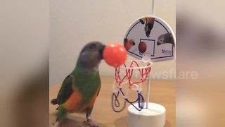 This parrot is a basketball prodigy - Video