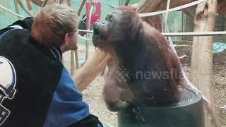 Hilarious moment chimpanzee kisses zoo visitor - Video