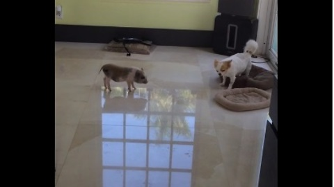 Persistent mini pig claims Chihuahua's bed