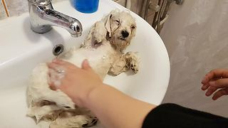 Puppy Nearly Falls Asleep During His First Bath - Video