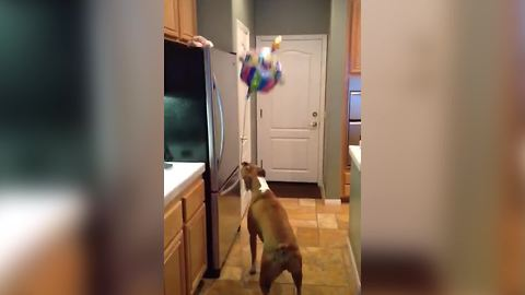 Funny Dog Love To Play With A Balloon