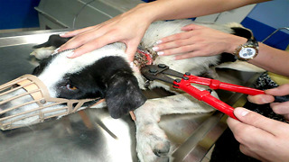 Rescuers See What Is Wrapped Around Dog's Neck And Are Shocked - Video